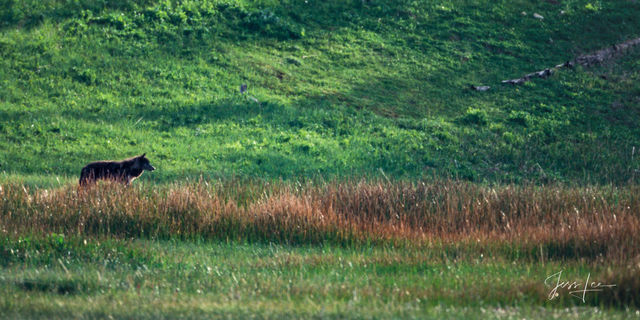 Marsh Hunter Wolf