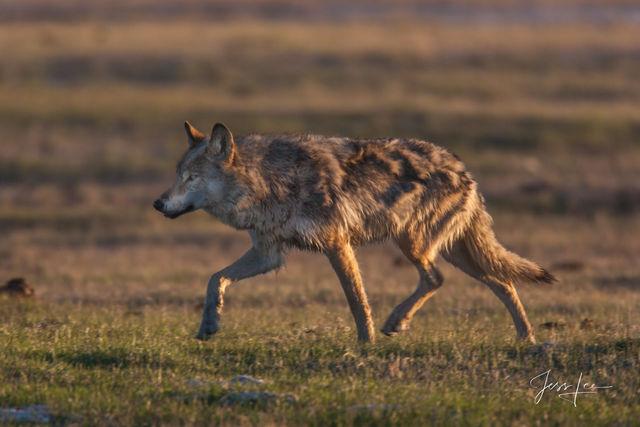 Running Spring Wolf