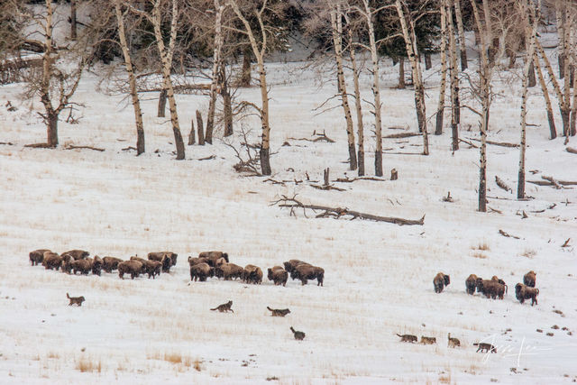 Yellowstone wolves hunting bison