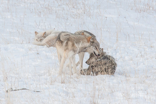 Yellowstone wolf pups playing with alphas