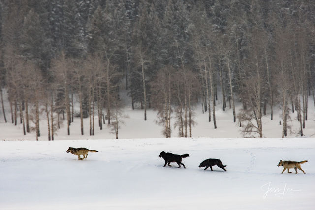 Wolves hunting in snow
