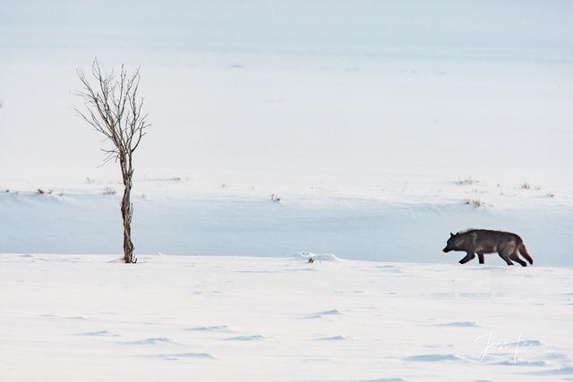 lone Yellowstone wolf