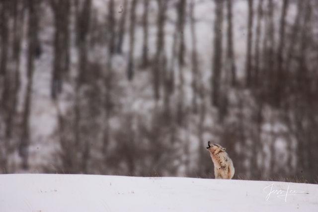 Wolf 2-3