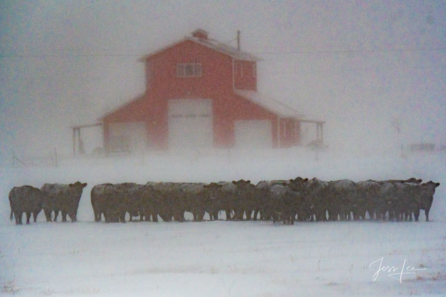 Tough it out | Cattle in snow storm