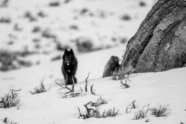 Black Wolf in rocks picture