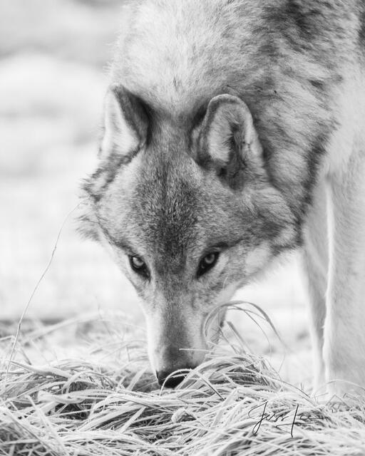 picture of wolf looking at you