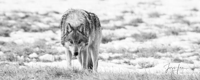 Picture of Wild gray wolf