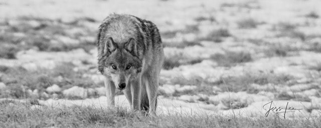 Picture of a Gray wolf staring