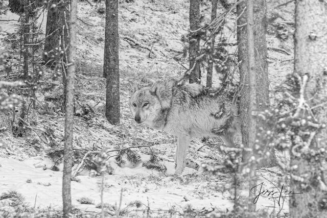 Picture of forest Ghost Wolf