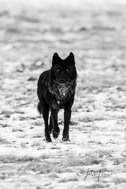Picture of black Wolf