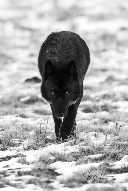 Picture of 302 the Casanova Wolf