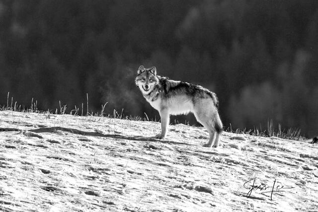 Picture of steaming wolf