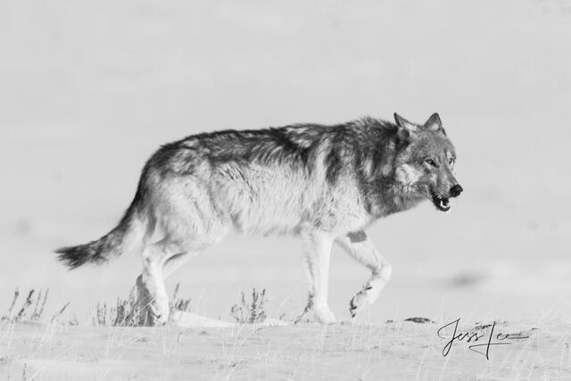 Hunting Wolf picture