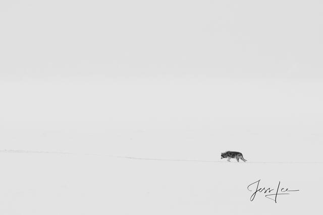 Yellowstone wolf-19