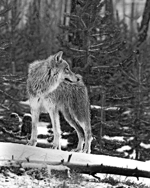 Picture of a wolf on a log