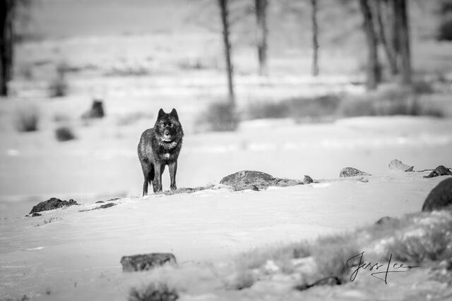 Picture of Black wolf on guard