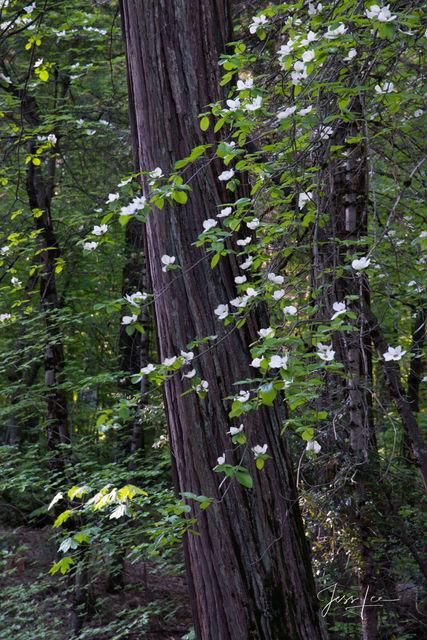 Dogwoods in full bloom in the Yosemite Valley, California.