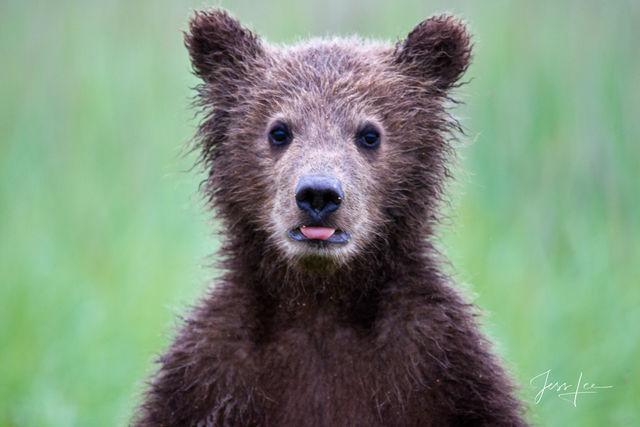 Grizzly, alaska, bear, brown, brown bear, coastal, lake clark, national park, landscape photography, Large format, quality, museum, fine art, print, jess lee, artist, western, cowboy, photographer, li
