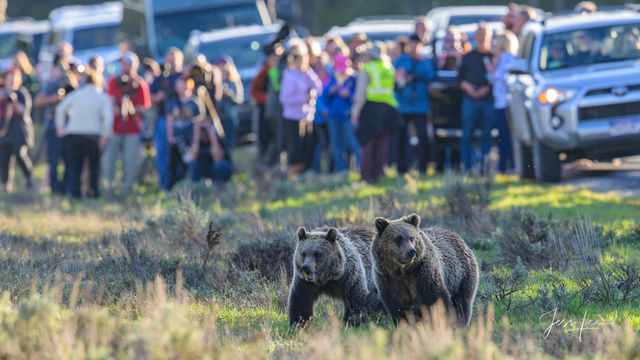 Tourist and Grizzly Bears