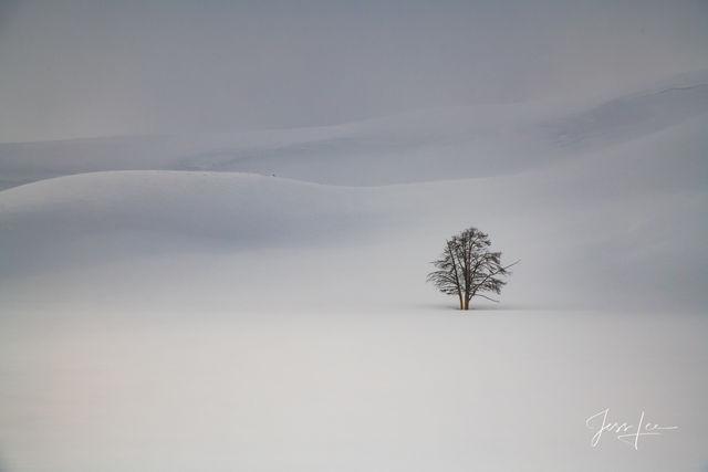 Yellowstone Winter tree