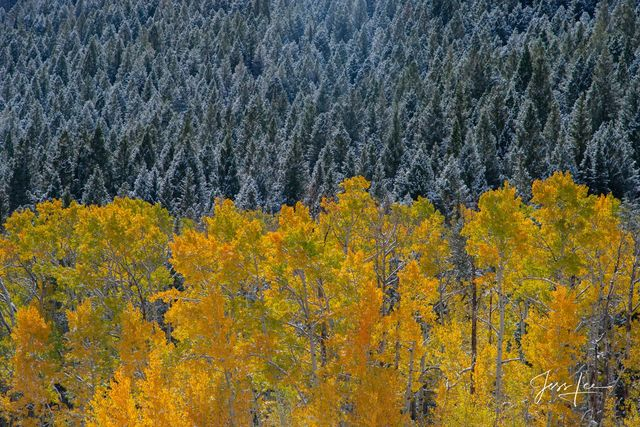 Photograph of turning Aspen trees with a background of snow covered pine trees,