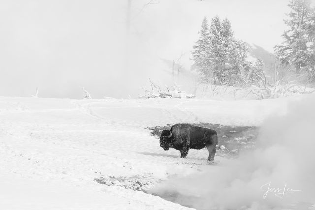 Photographing Yellowstone bison with jessleephotos.com tour