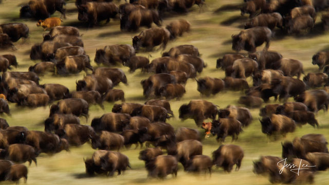 Stampeding  Bison or Buffalo Herd with new calves.