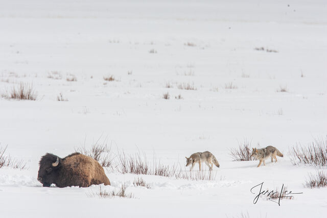 Bison and coyote in snow, yellowstone, winter , 07, snow