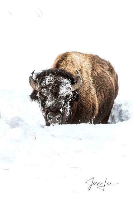 Bison with frozen face