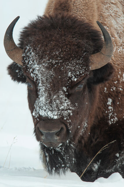 Bison face with snow, yellowstone, winter , 07, snow