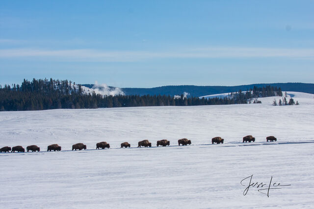 Yellowstone bison in winter herd, national park,
