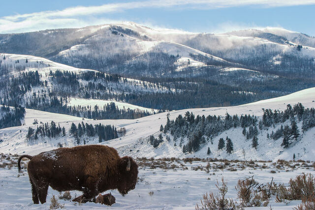 Bull Bison waiting for spring