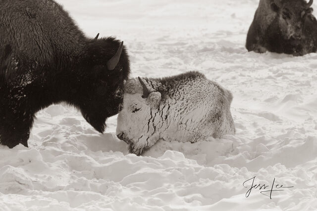 Bison calf snow-covered with mother. snow, Yellowstone,  winter, snow