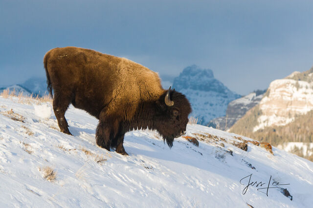 Bison bull in snow, yellowstone, winter , 07, snow