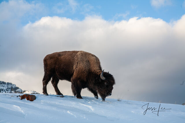 Bison in snow at yellowstone, winter , 07, snow