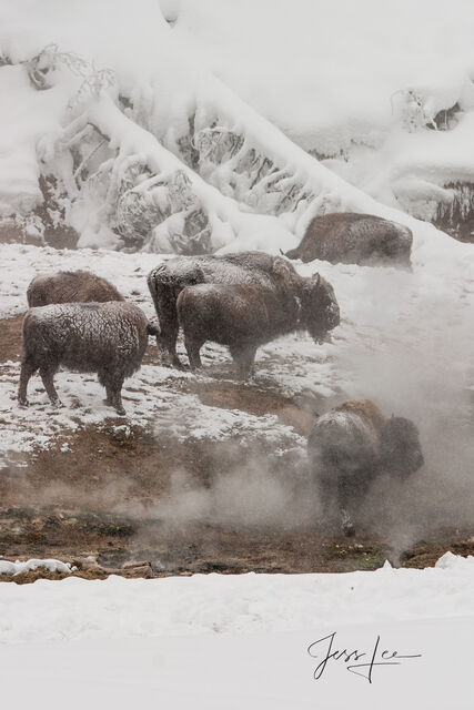 bison herd at hot springs