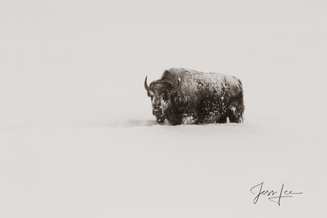Bison in winter snow