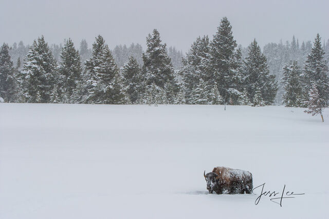 Lone Bison in winter snow