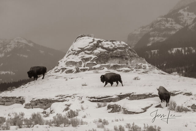 Old time bison photo