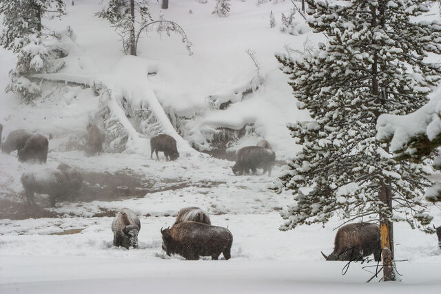 Bison in winter cold.
