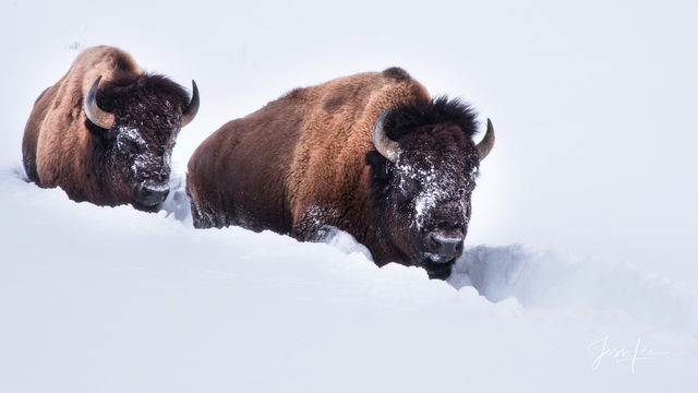 Bison walking in deep snow