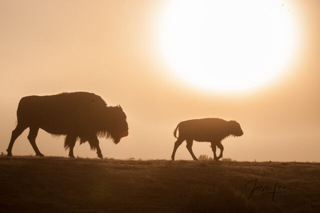 Cow and calf buffalo at sunrise