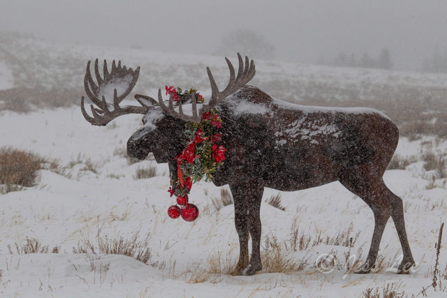 photo of moose in Wyoming, Christmas, Jackson Hole, holiday decorations, winter, snow, landscape, wildlife, fine art prints, high quality