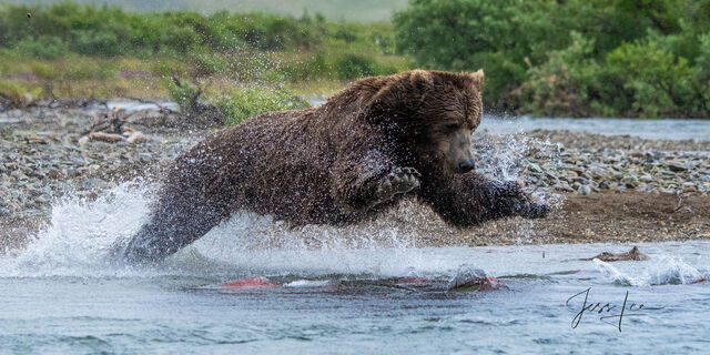 Grizzly bear leaping for a salmon dinner in Katmai National Park, Alaska