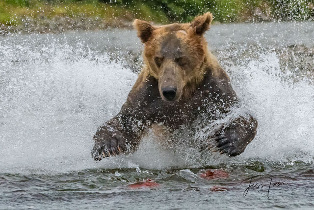 Grizzly bear fishing for salmon in Katmai National Park in Alaska