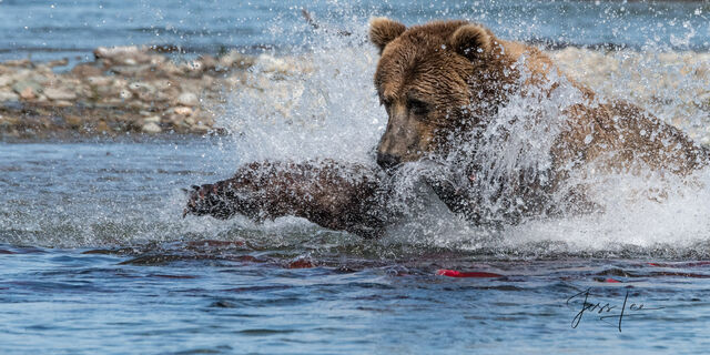 grizzly fishing for salmon in Katmai National Park, Alaska