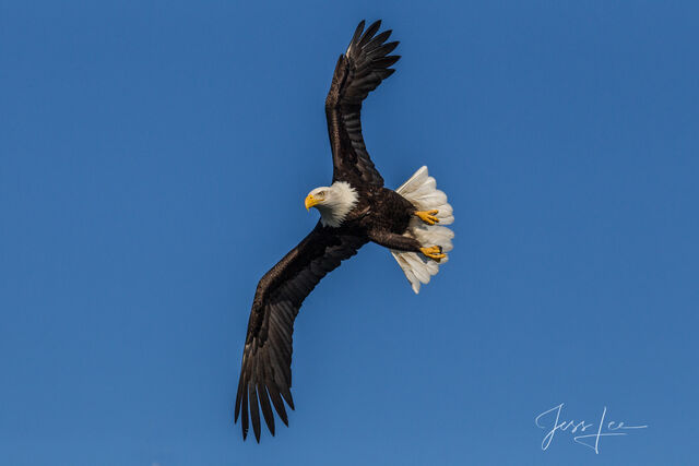 American Eagle Photograph, Picture of a Bald Eagle, Flying, perching,