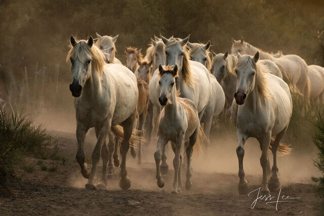 Horses of Camargue, Provence France 13