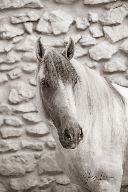 Horses of Camargue, Provence France 8