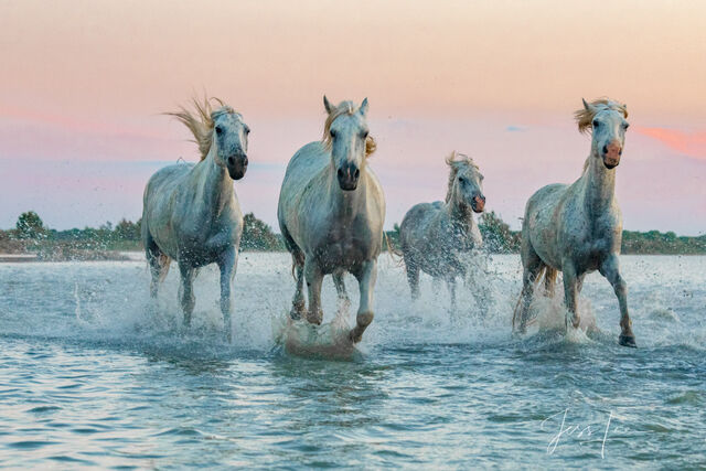 Horses of Camargue, Provence France 12
